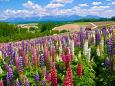 四季彩の丘のルピナス