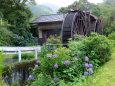 紫陽花が咲いている水車小屋