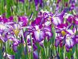 初夏を彩る花菖蒲