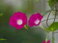 散歩道の花 1807-16-1