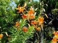 見上げるユリの花