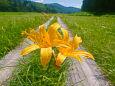 木道に咲くニッコウキスゲ