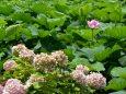 紫陽花から蓮の季節へ