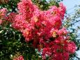 お盆過ぎの百日紅の花