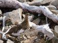小蓮華山の雌雷鳥5