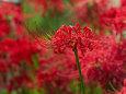散歩道の花 1809-21-1