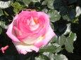 花 植物 ピンクのバラ一輪 壁紙1920x1280 壁紙館