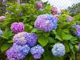 花 植物 虹色のあじさい 壁紙1920x1280 壁紙館