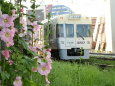 京王電車とタチアオイ