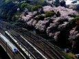 飛鳥山の桜とE7系新感線