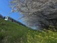 桜と菜の花と西武線